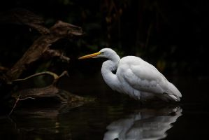 Egret by LifeCapturedPhoto