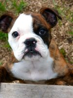 Laurel by NobleBulldogges