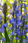 Garden Bluebells by Forestina-Fotos