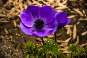 Purple poppy by ShlomitMessica