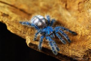 Avicularia versicolor L4 by Or4x1d