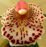Camouflaged Insect on an Orchid Lip by Amazinadrielle