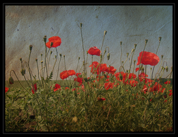 Poppies by dianadades