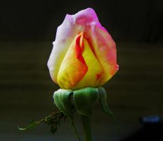Rose by Stone1980