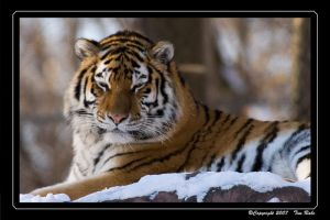 Sleeping Tiger by Merlinstouch