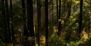 Afternoon forest rays by Millsy1