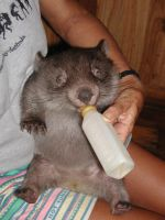 Wombat bottle-time by brunette-from-oz