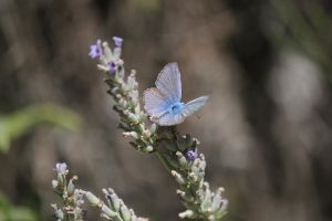 blue butterfly by Dodephine