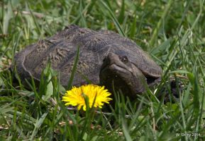 Snapping Turtle by lenslady