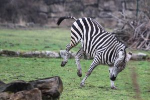 Zebra Stock II 47 by LuDa-Stock
