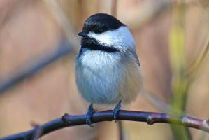 Black-capped Chickadee by wreckingball34