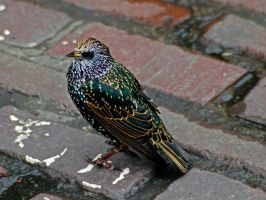 Starling by Mackingster