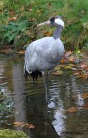 Kranich / Eurasien Crane 3 by bluesgrass