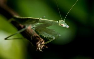Macro Mantis by hammo