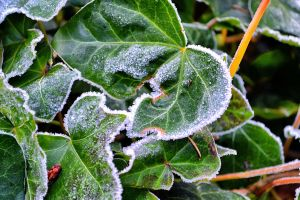 Frosted Ivy by TheBelfig