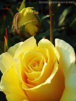 Yellow Roses by yuzukko