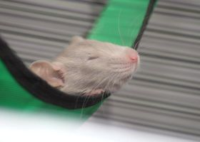 Baby rat sleeping in hammock 01 by stphq