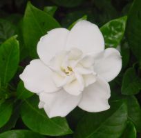 Beautiful White Flower stock by Enchantedgal-Stock