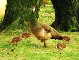 Peahen Mama by Nachmarcy