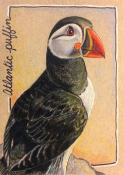 ACEO: Atlantic Puffin by DanielleMWilliams