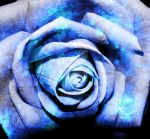 blue rose by tistwas