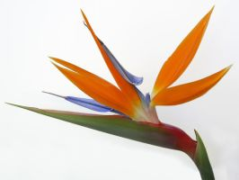 Bird of Paradise Stock by chamberstock