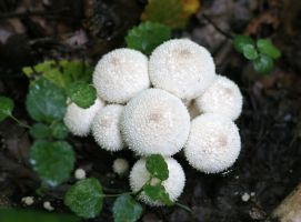 Puffball by Hechicero