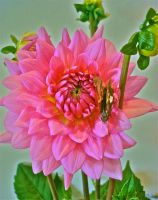 pink bloom Dahlia by We-Are-Under-1-Dome
