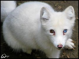 A blue-eyed arctic fox? by woxys