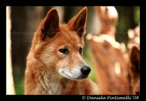 Dingo II by TVD-Photography
