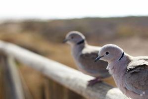 Collared Dove by Kn3xX