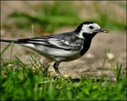 Femail Pied Wagtail by Somebody-Somewhere