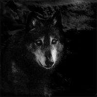 Wolf by ChristineAmat