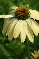 Yellow Coneflower by AsStarsGoOut