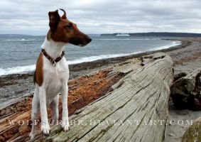 Smooth Fox Terrier at the Beach by WolfScribe