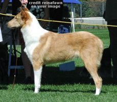 Smooth Collie Stock by reinafawn