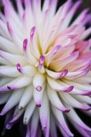 Dahlia by SpawnedImages