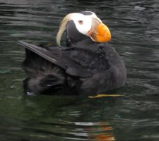 Tufted Puffin by symbion-pandora