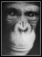 Chimp by MikeLangston