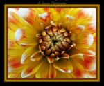Candy corn Dahlia by ConnieBearer