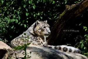 Snow_Leopard by PiTurianer