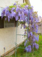 Wisteria 2009, part 1 by MikeHungerford