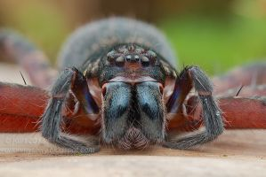 Huntsman Spider Portrait by orionmystery