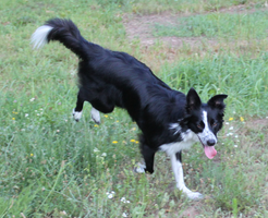 Border Collie running STOCK 11 by Miahii