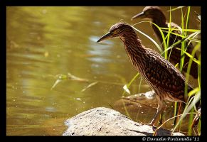 Juvenile Nankeen Night Heron by TVD-Photography