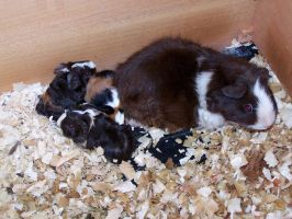 Baby Guinea Pigs by tamst