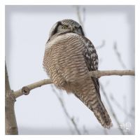 Northern Hawk Owl. Waiting by AmirNasher