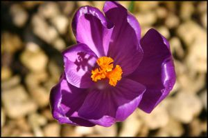 Spring Crocus by AngiWallace