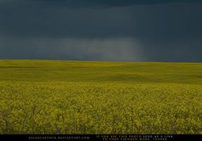 Canola Field 6 by SalsolaStock