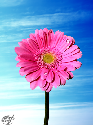 Gerbera by George-B-Art